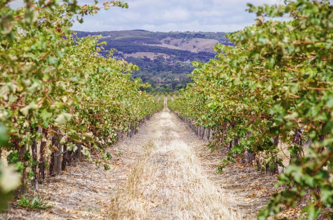 The pretty vineyards of Primo Estate
