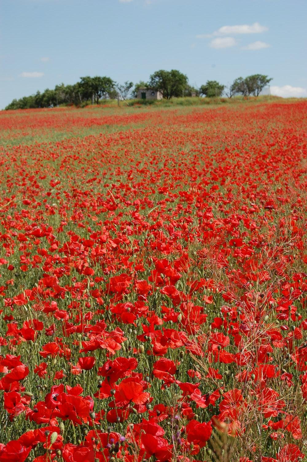 red-petaled flower field