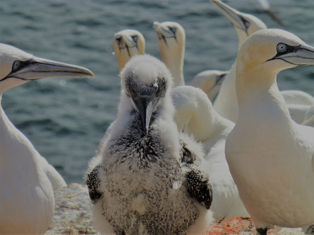 macro photography of Northern gannet near body of water