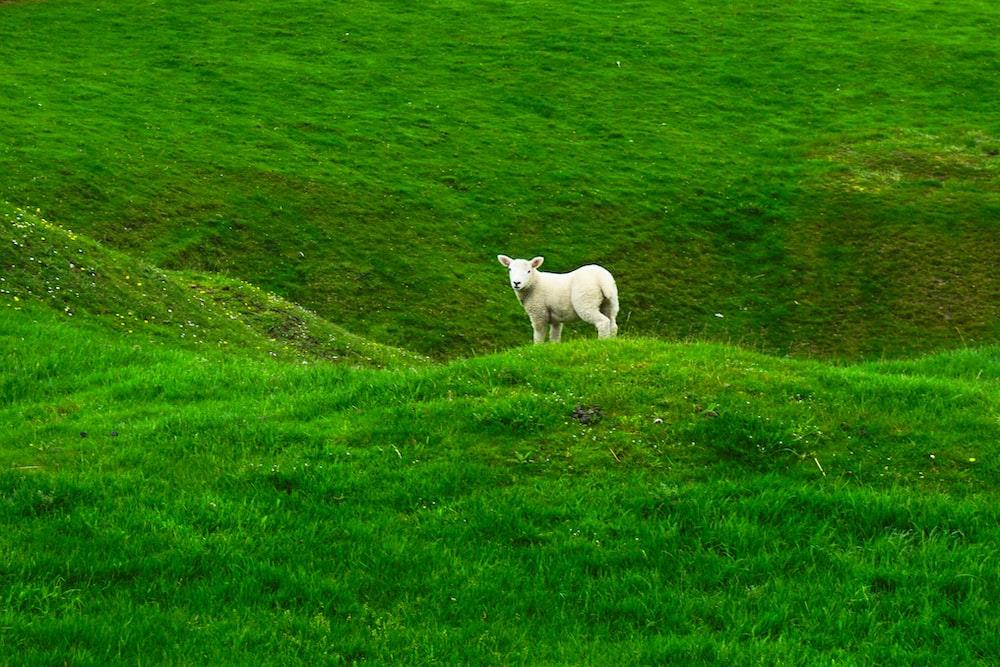 white sheep on green mountain