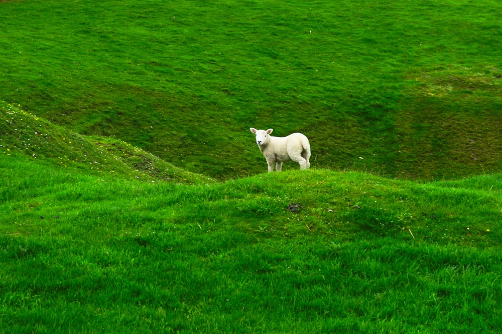 white sheep on green mountain