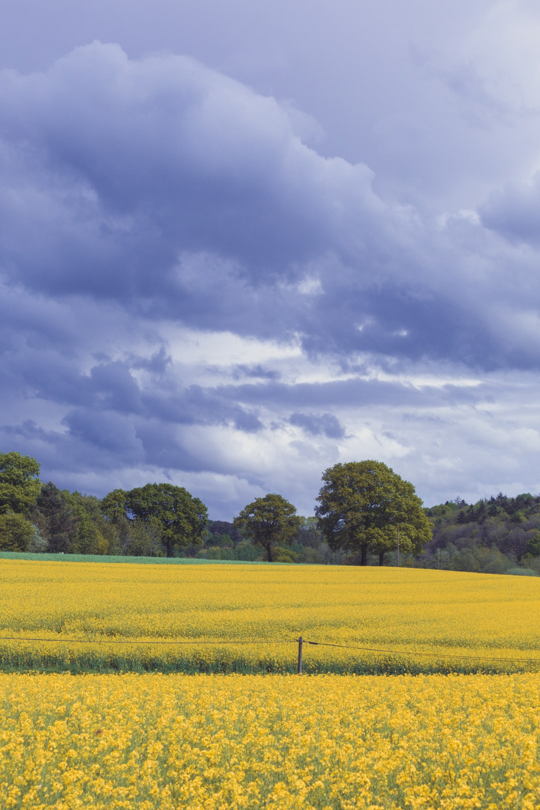 Yellow field of rape (colza) before the thunder in Bretagne