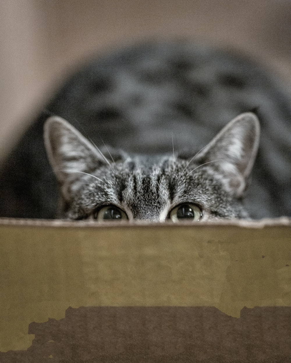 silver tabby cat hiding on box