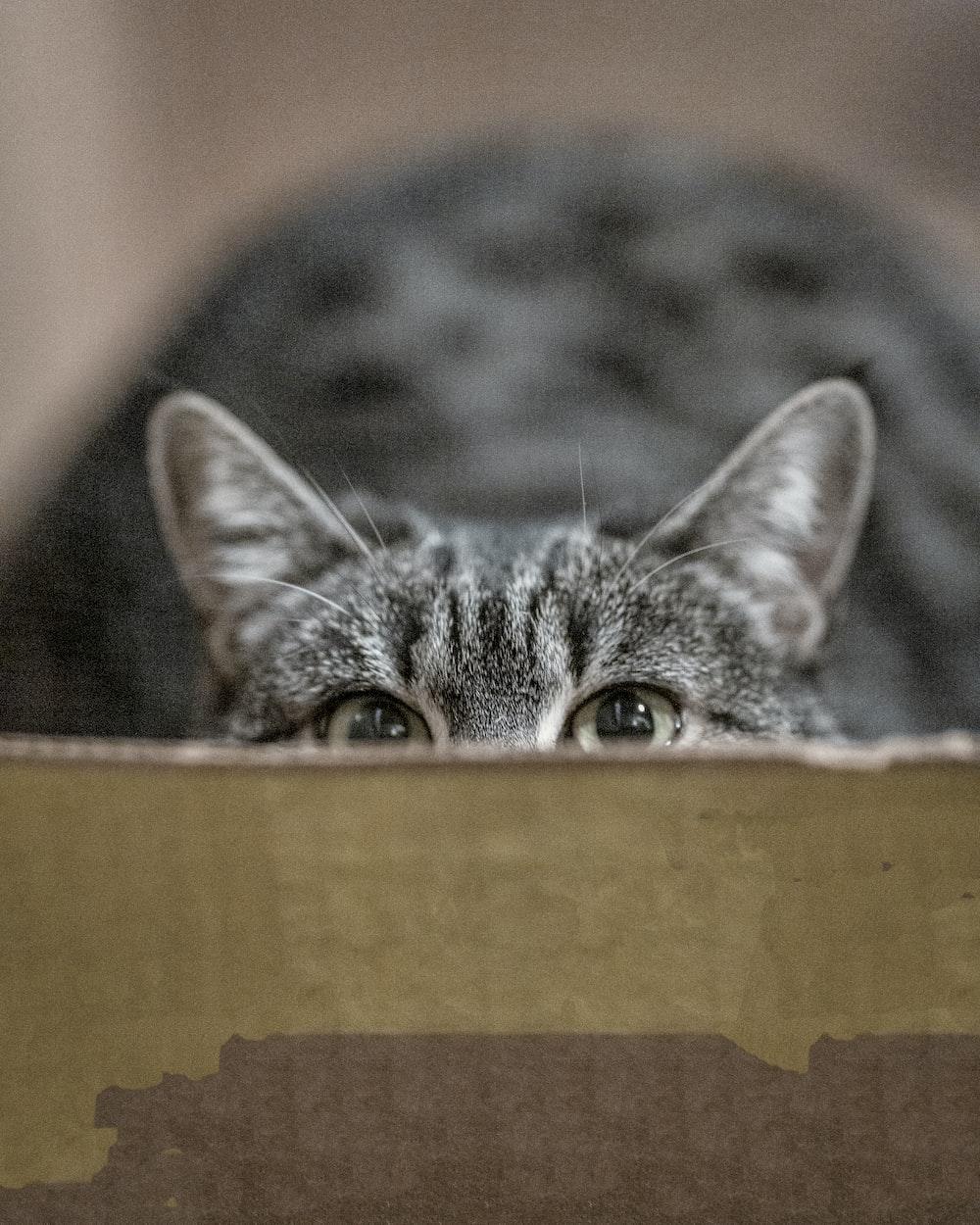 silver tabby cat hiding on box