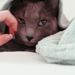 Russian blue covered by blue towel