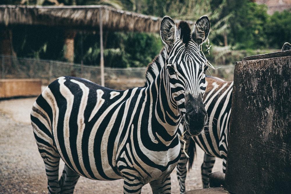 closeup photo of zebra during daytime
