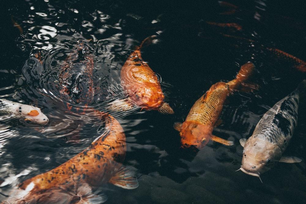 closeup photo of assorted-colored koi fish