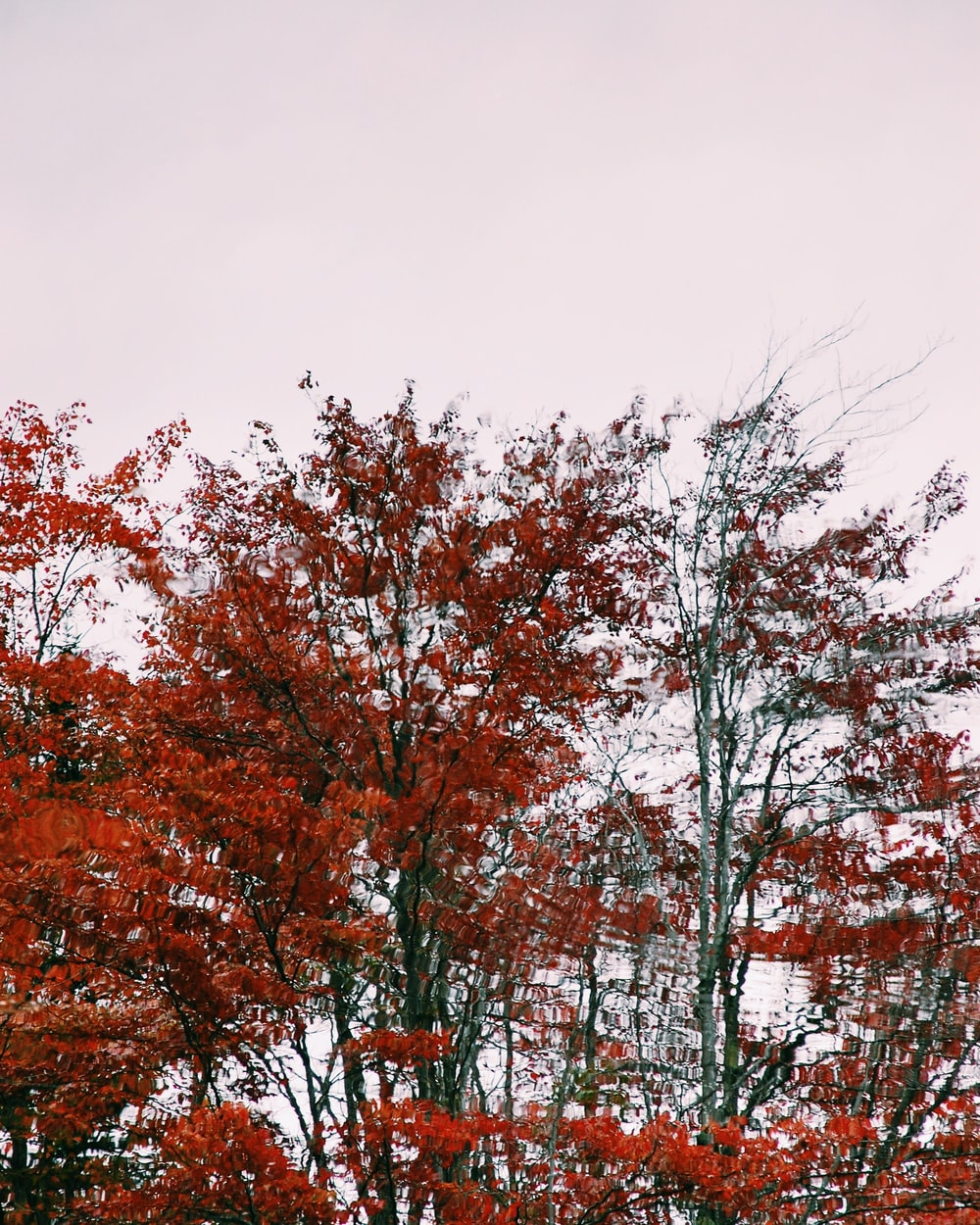 red leafed trees during daytime
