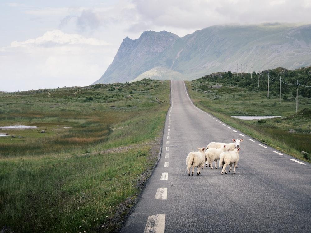 white animals on road