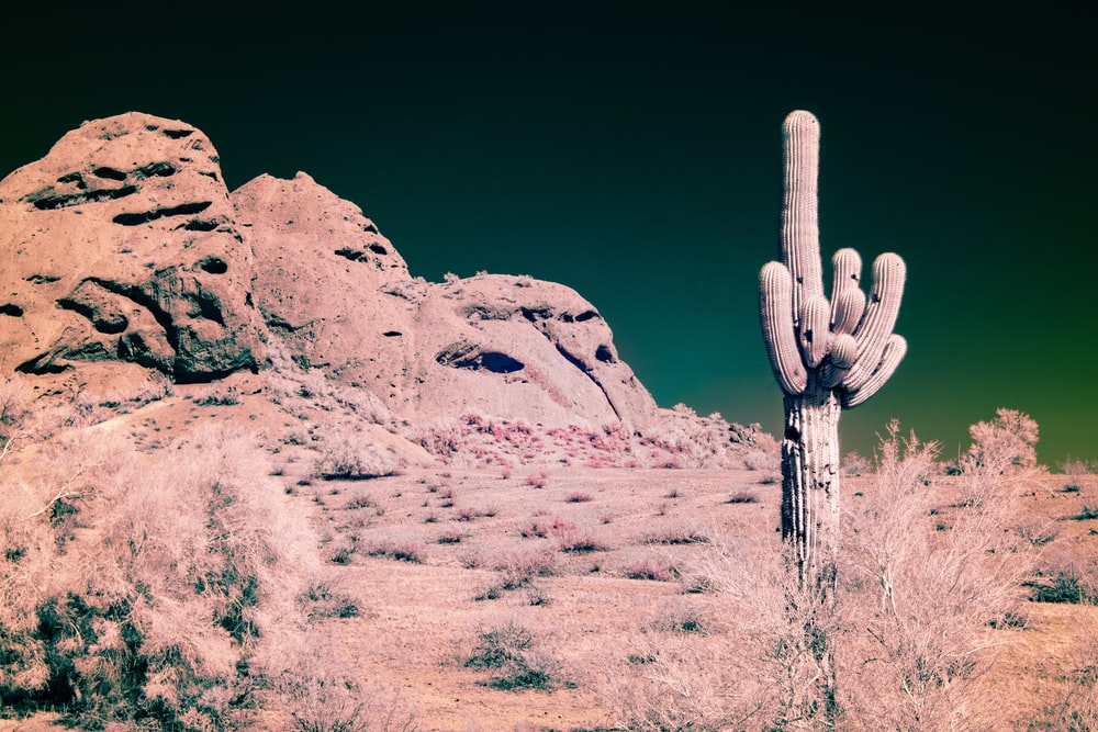 green cactus on desert