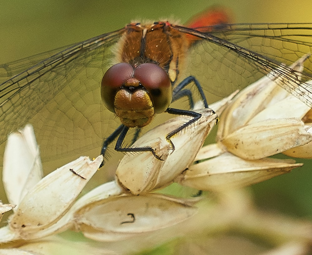 brown dragonfly
