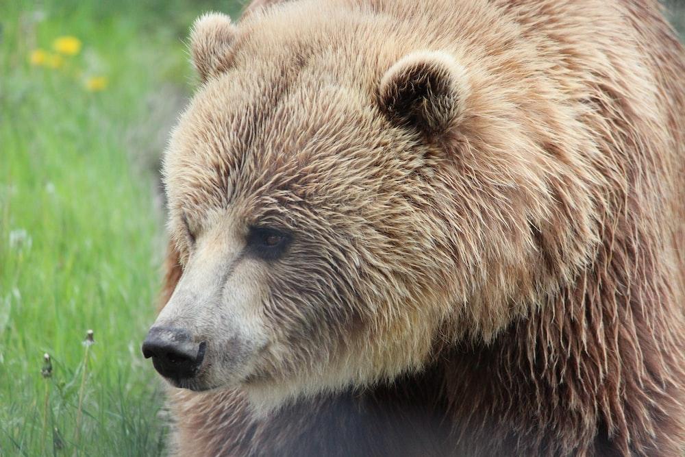 brown bear photograph
