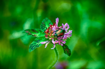 shallow focus photo of brown insect on purple flower four leaf clover teams background