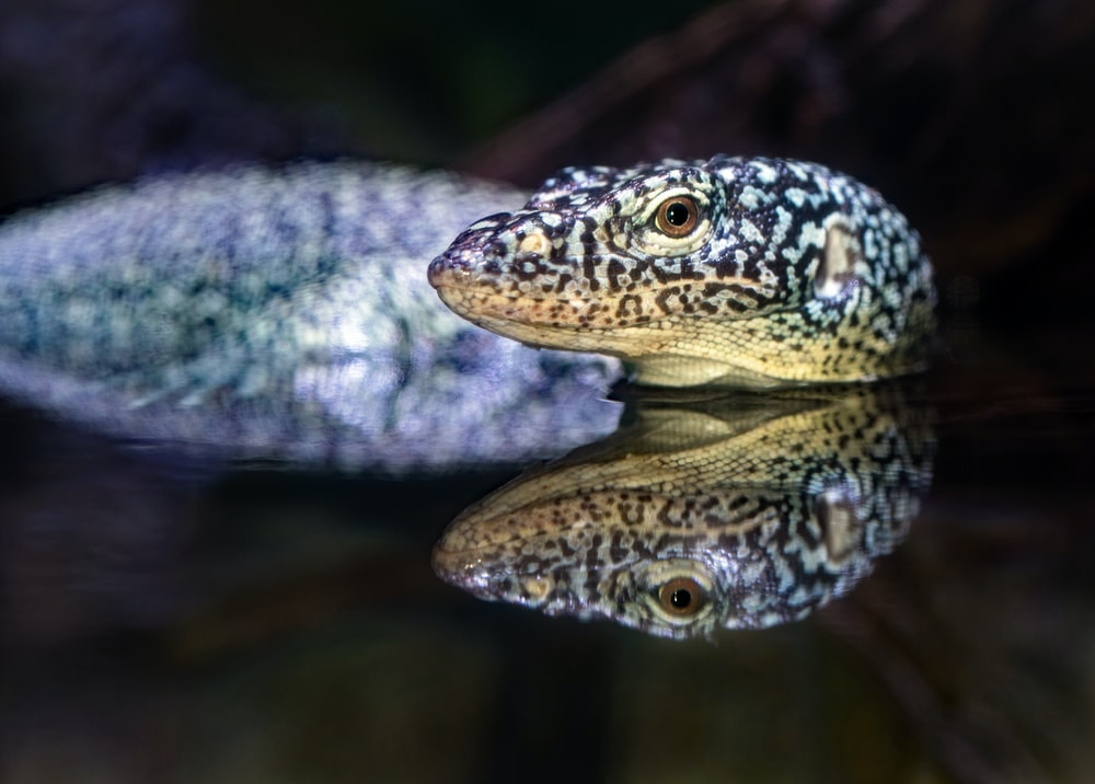 closeup photography of black and brown reptile
