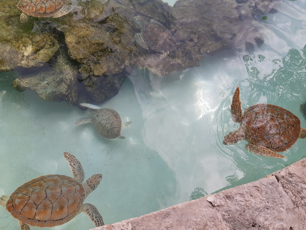 three brown turtles swimming in the water