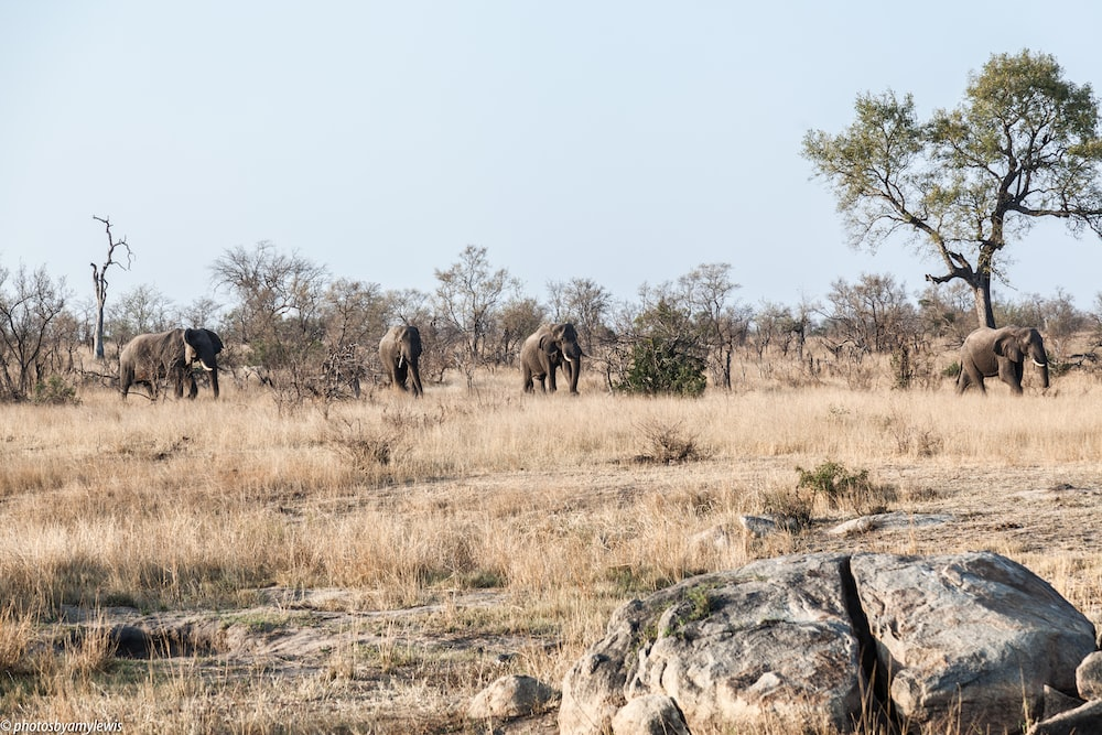 elephants on brown field near trees during daytime
