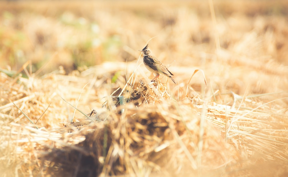 black and gray small-beaked bird on wheat feild