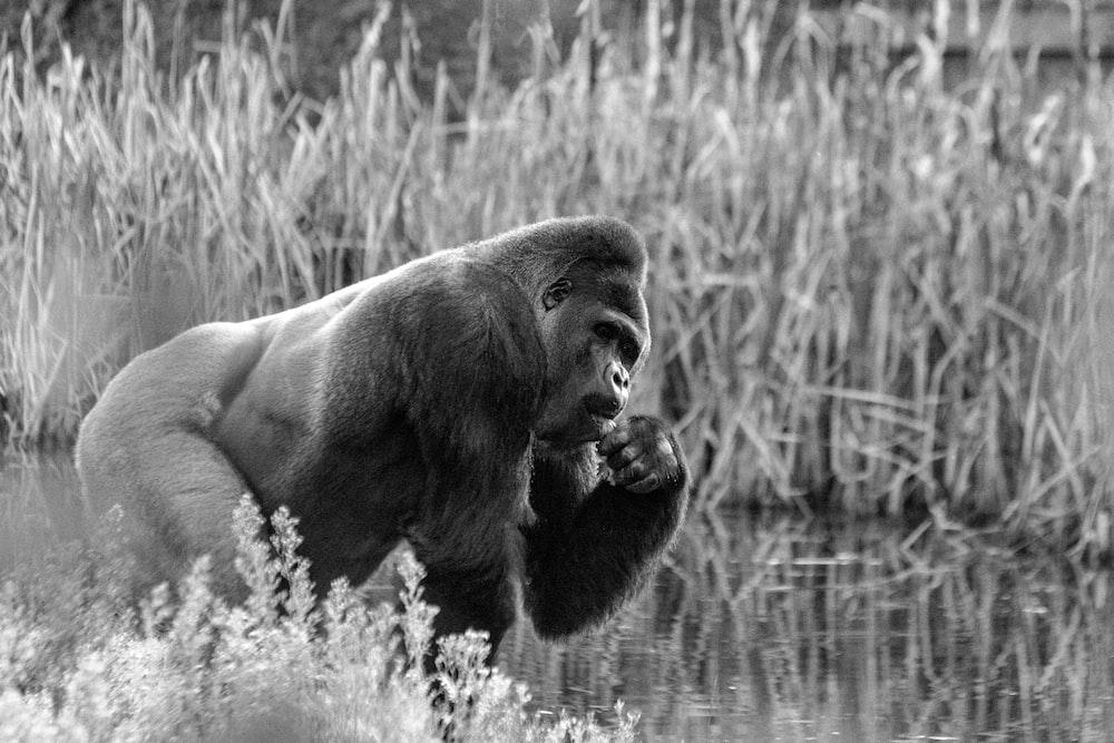 greyscale photo of gorilla standing near lake