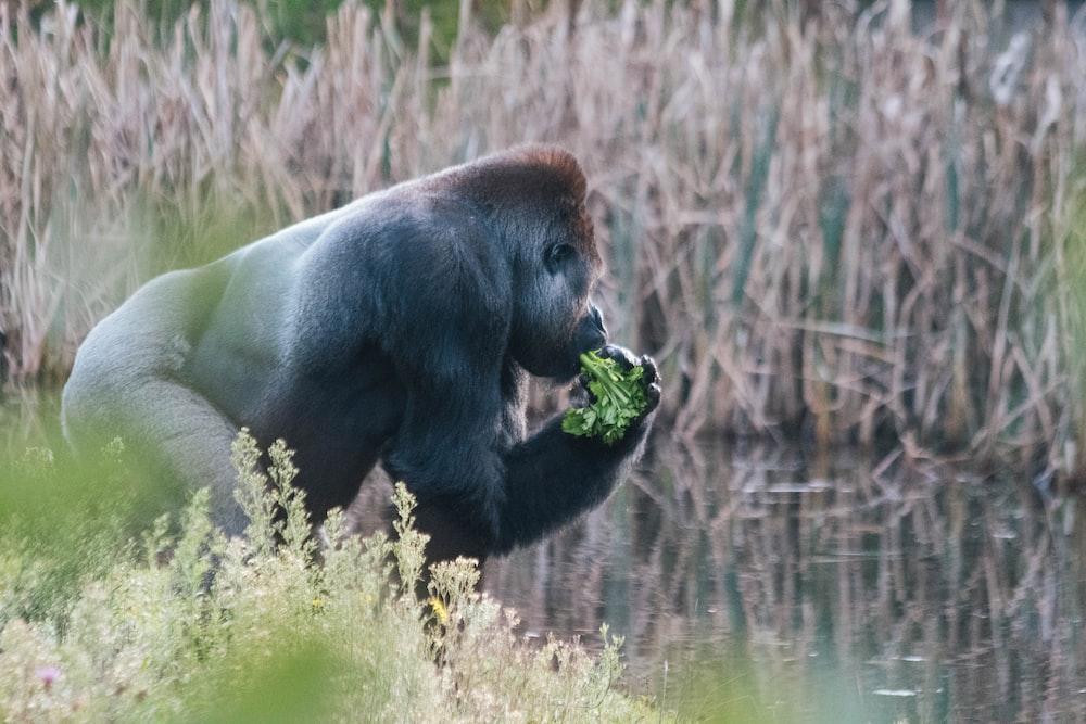 gorilla eating plant