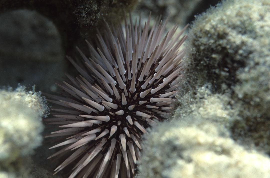 Sea urchin (Echinometra mathaei)