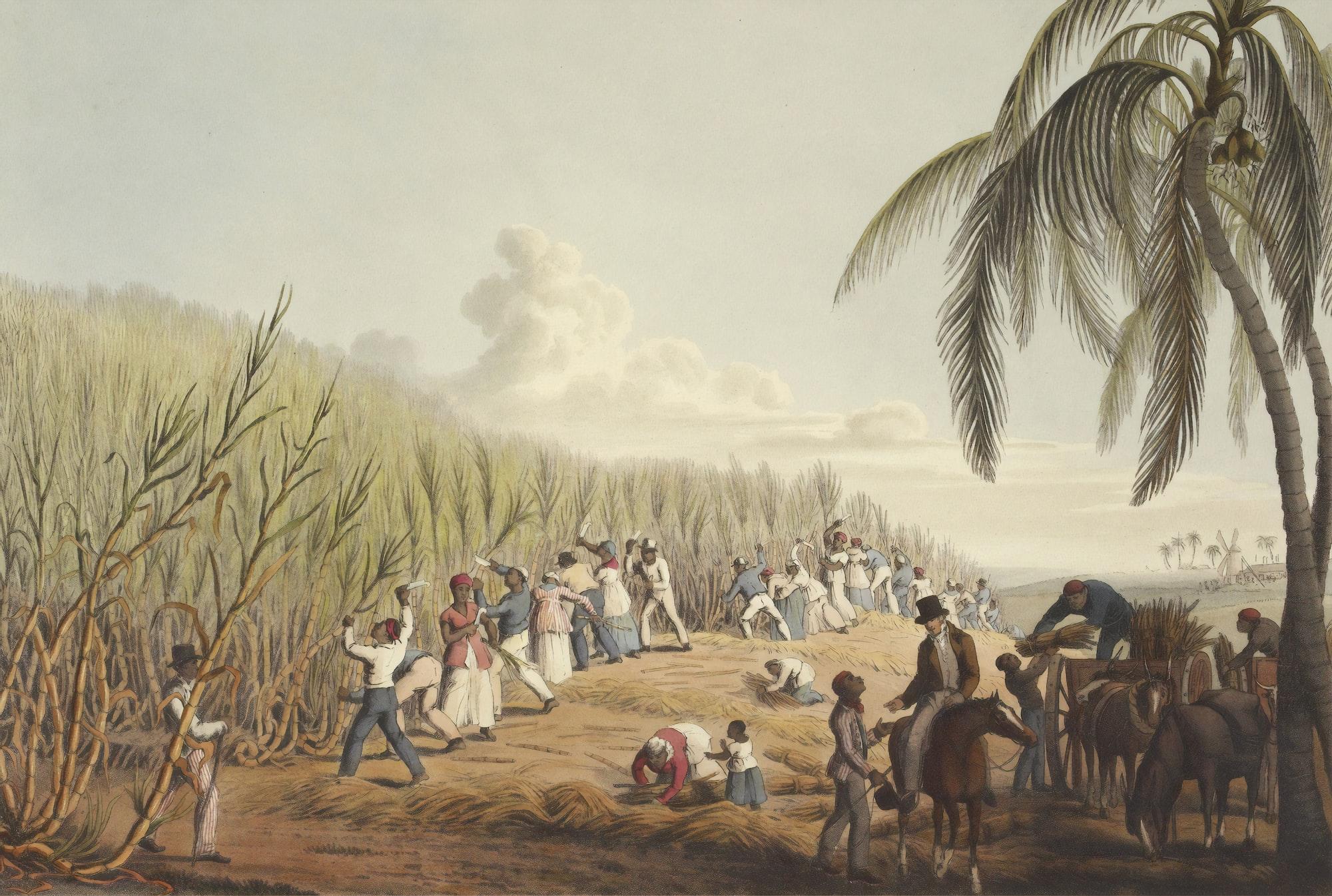 Slaves cutting the sugar cane on the Island of Antigua, 1823