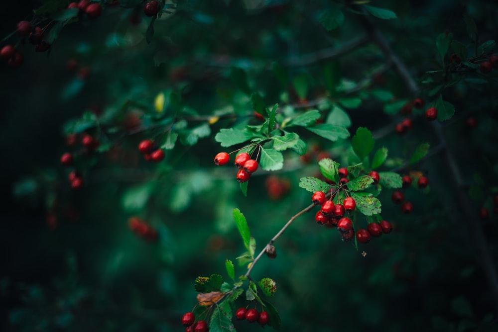 selective focus photo of cherries