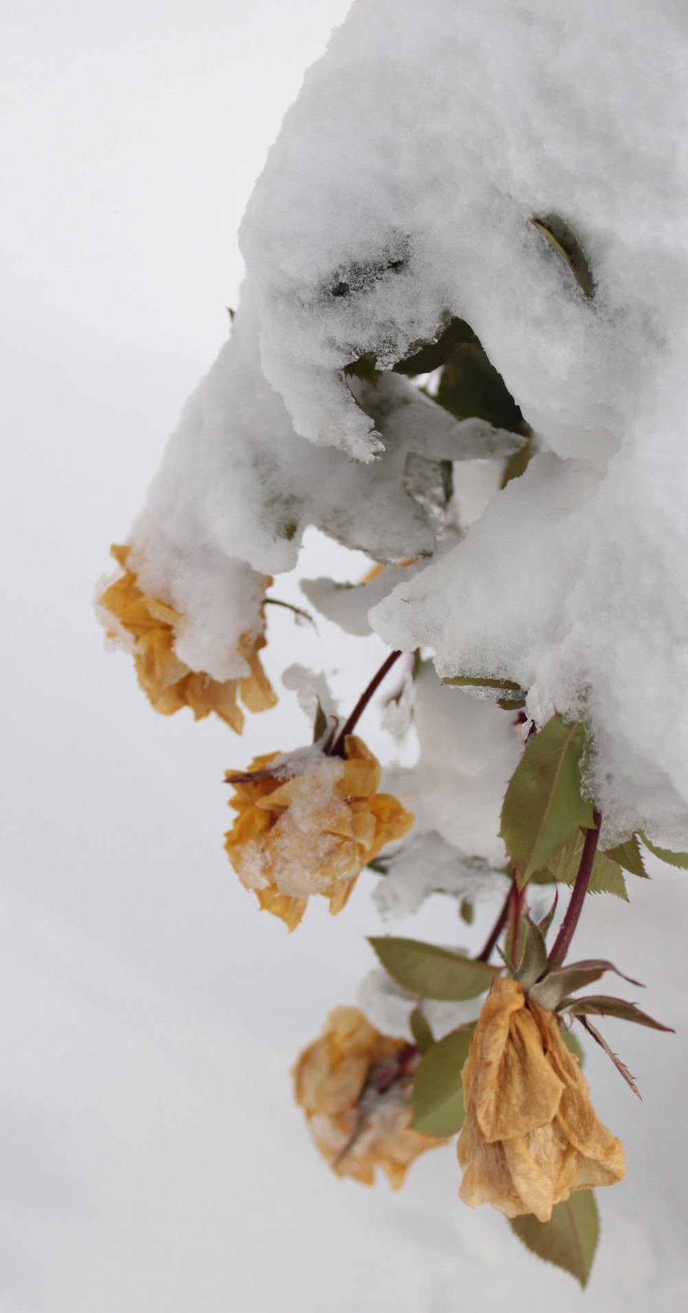 selective focus photography of brown flowers covered with snow