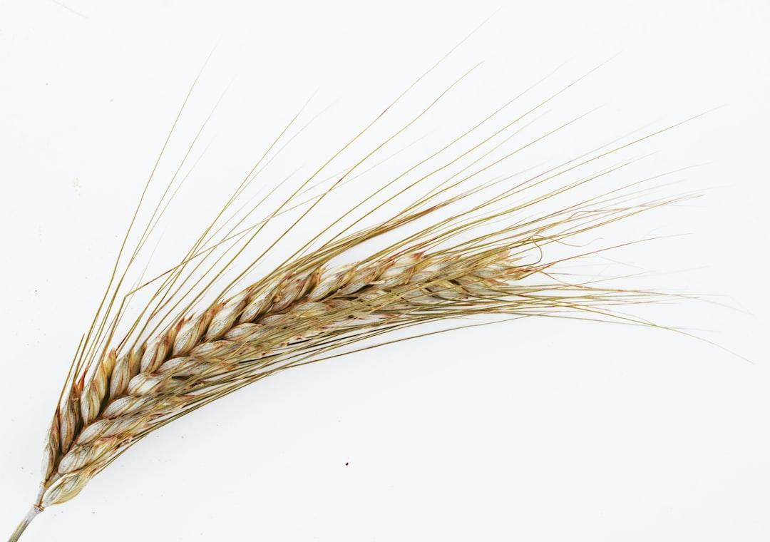 barley, white, corn, ear, ear of corn, flowering, glume, grass family, grasses, gray, grey, hairs, husk, ligule, mannagrasses, stalk, sweet-grasses, thriving