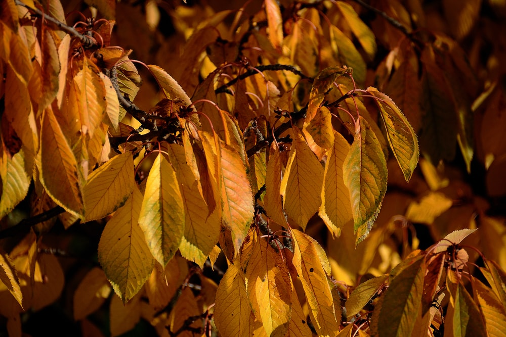 yellow leafed plant