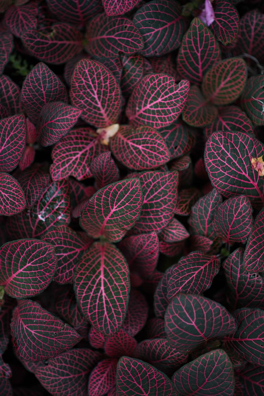 maroon-leafed plant