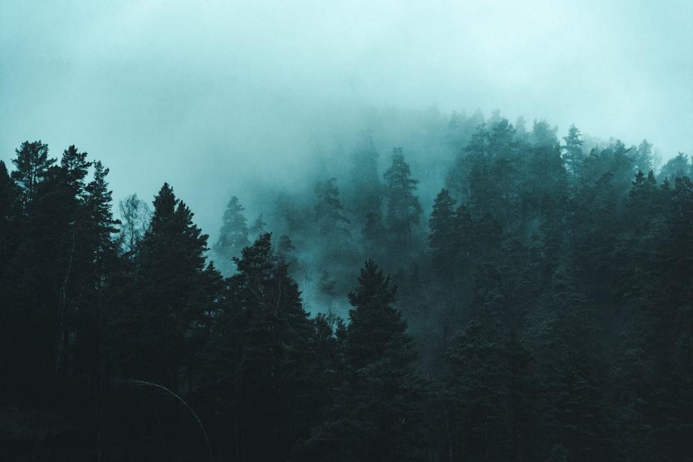 green foggy pine trees