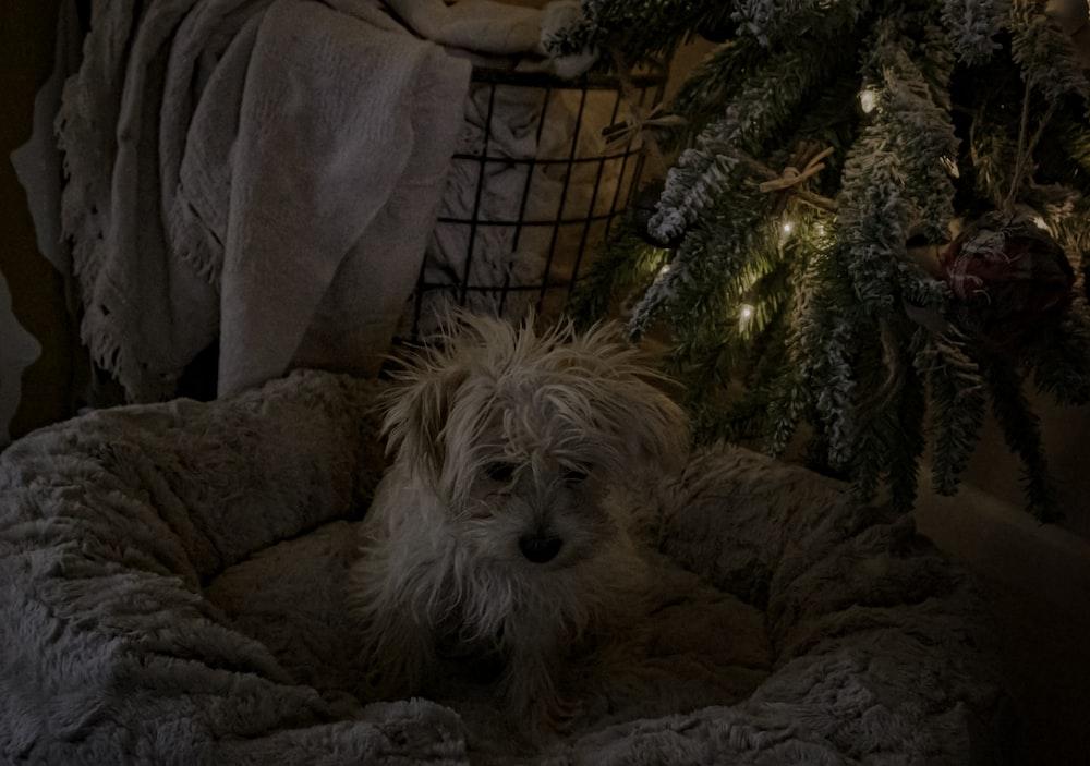small long-coated white dog