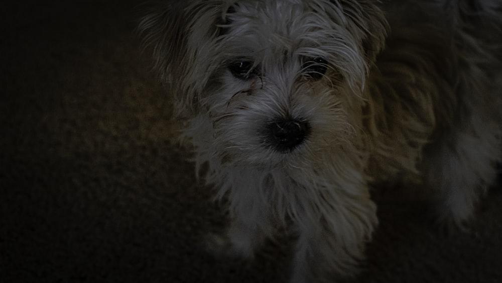 medium-coat white dog