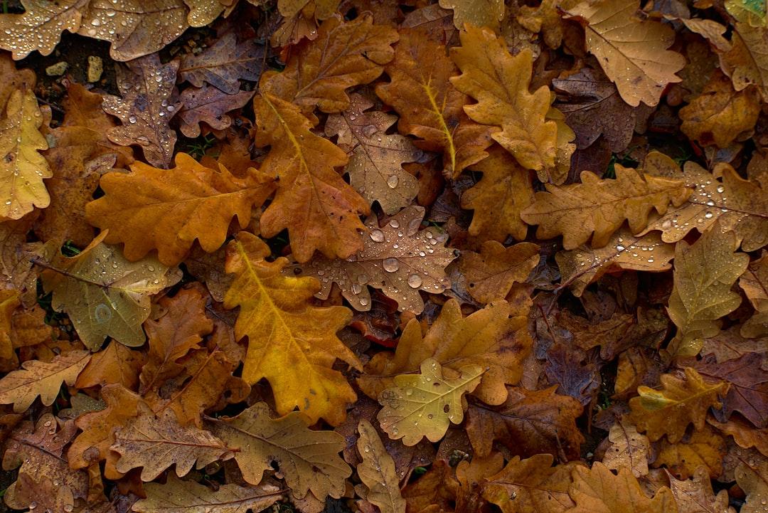 Fallen oak leaves in autumn
