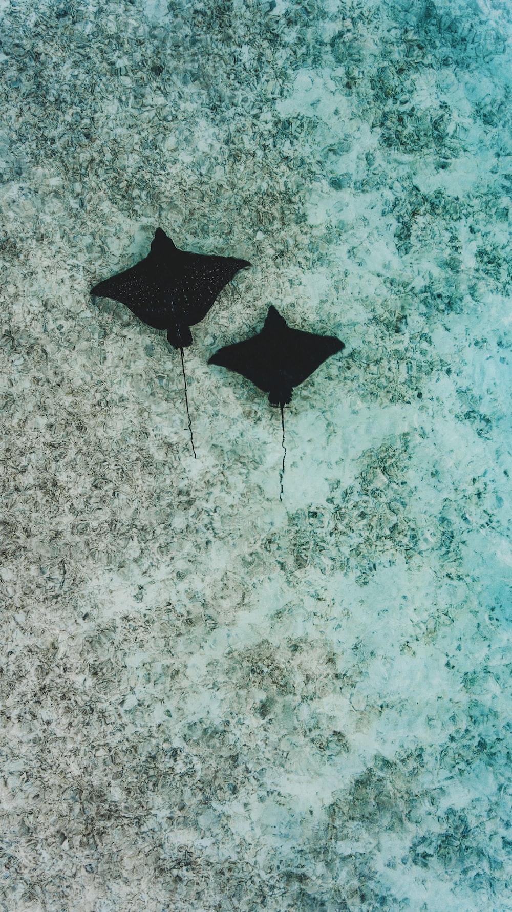 two black stingray