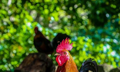 chicken pickup line