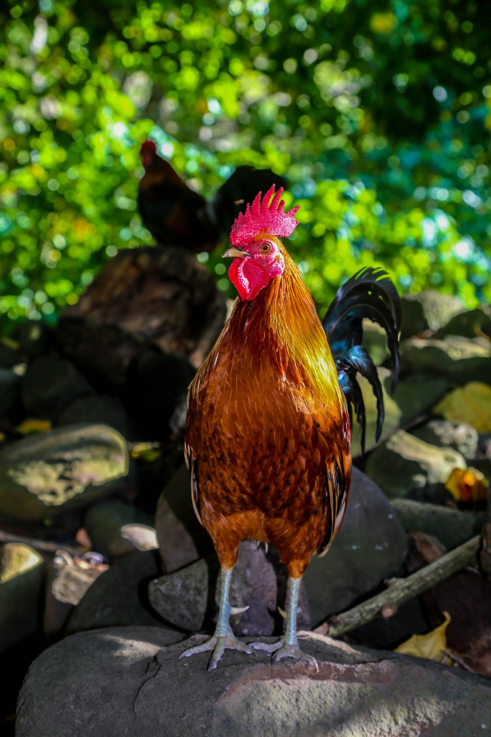 brown rooster standing on stone