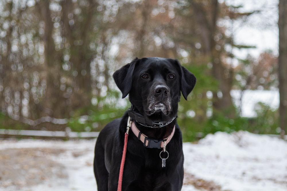adult black Labrador retriever during daytime