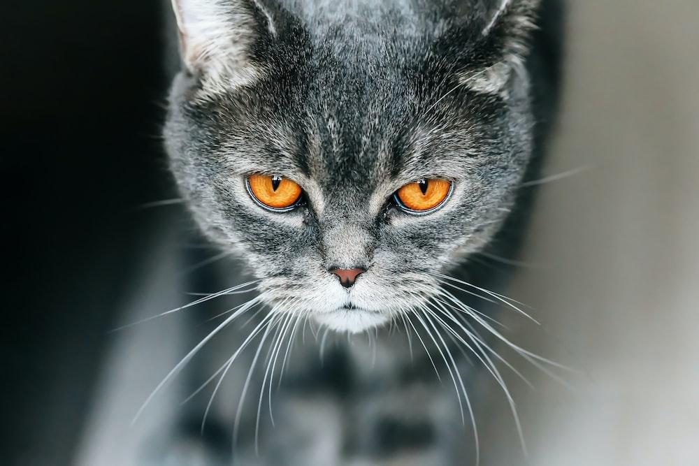gray cat