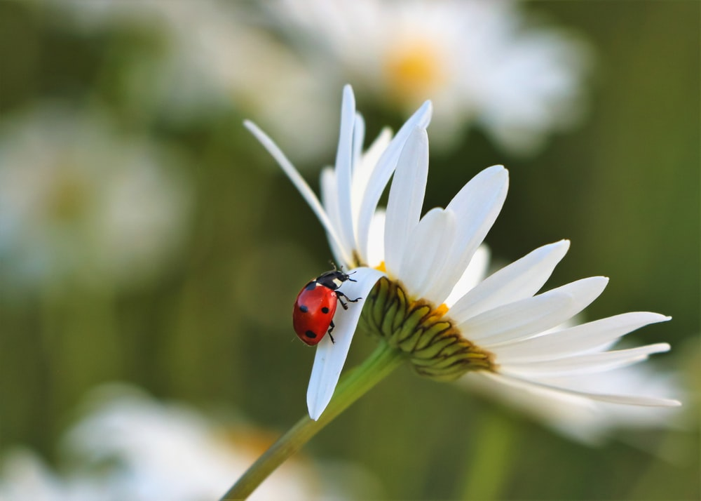 ladybird bug on white daisy