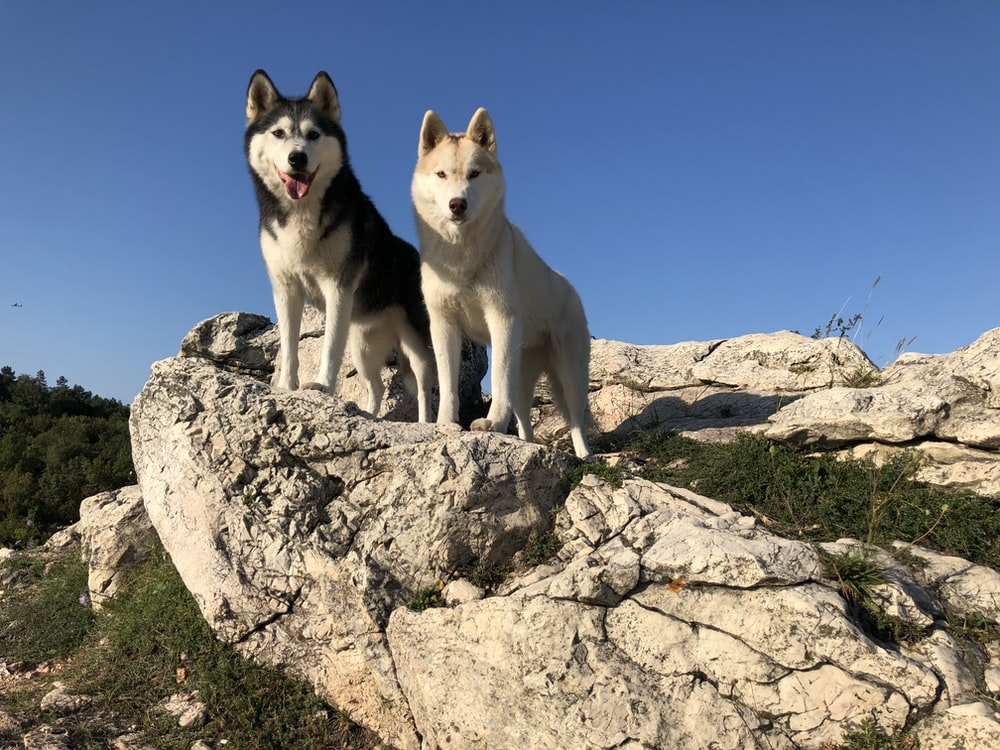 two black-and-white and brown-and-white dogs standing on rock formation during daytime