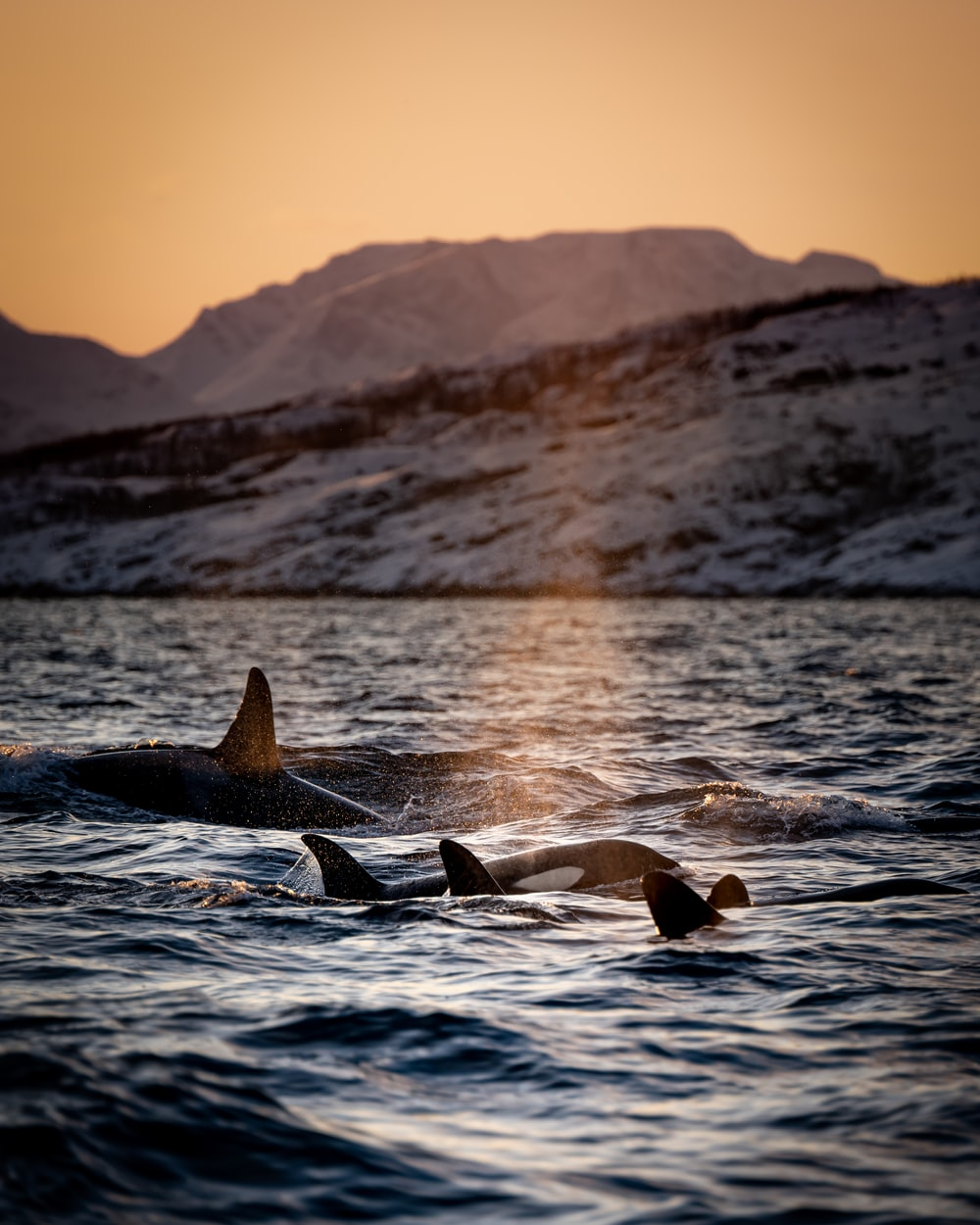 three killer whales floating on water