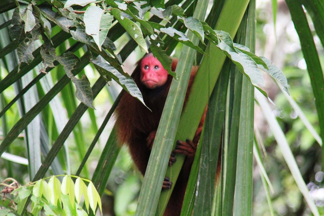 monkey. uakari.Iquitos.