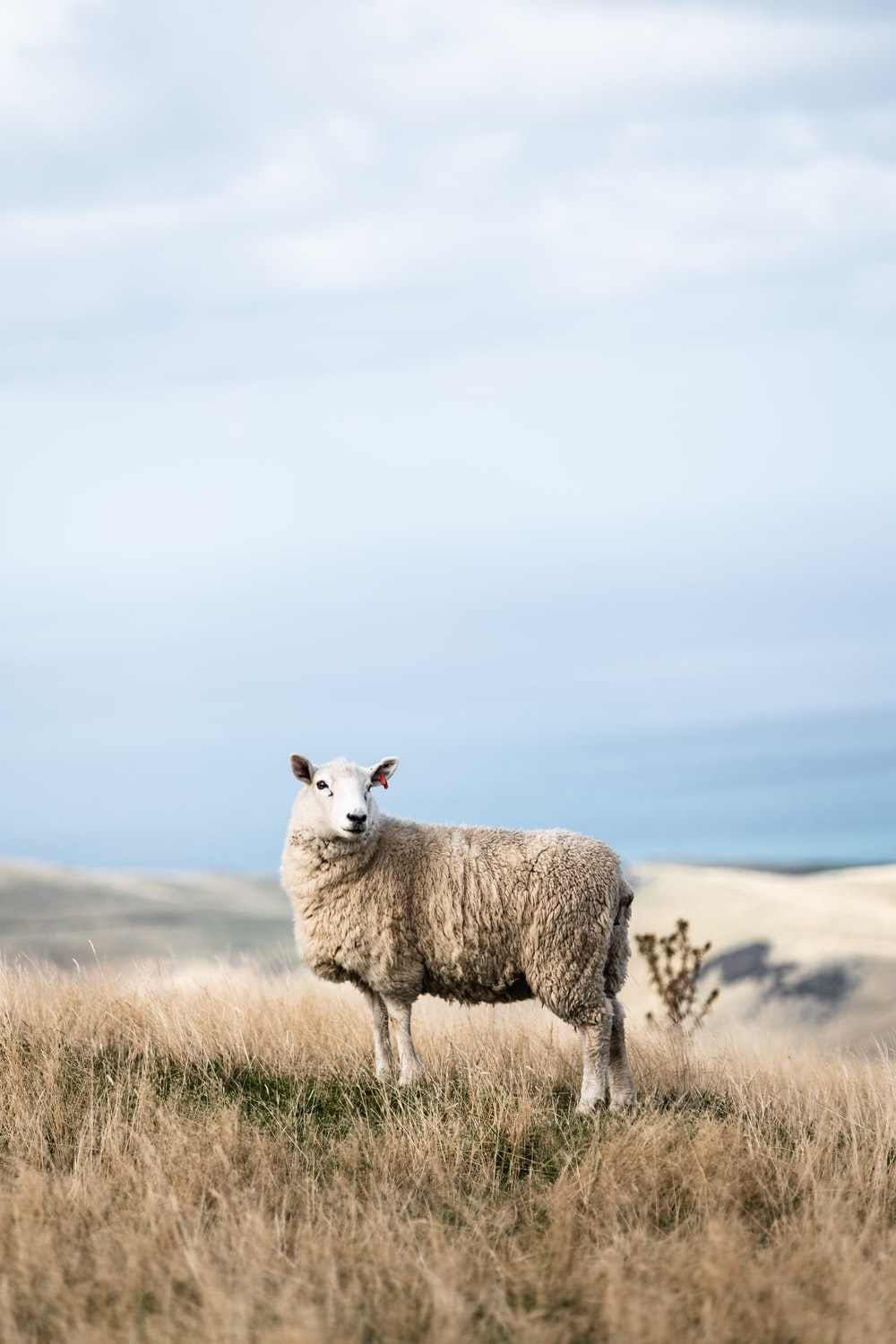 white sheep on field