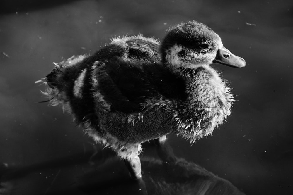greyscale photography of duckling