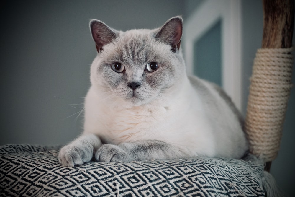 white cat on gray textile