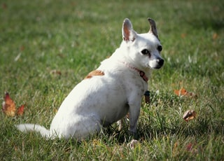A brown and white Jack Russel terrier dog sits in the grass.