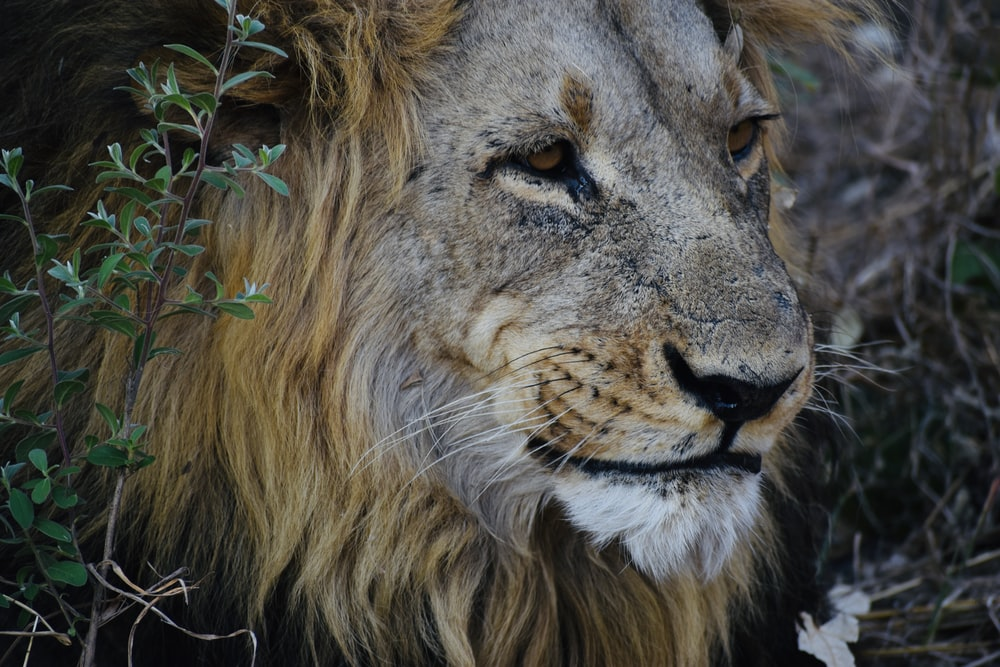 macro photography of male lion