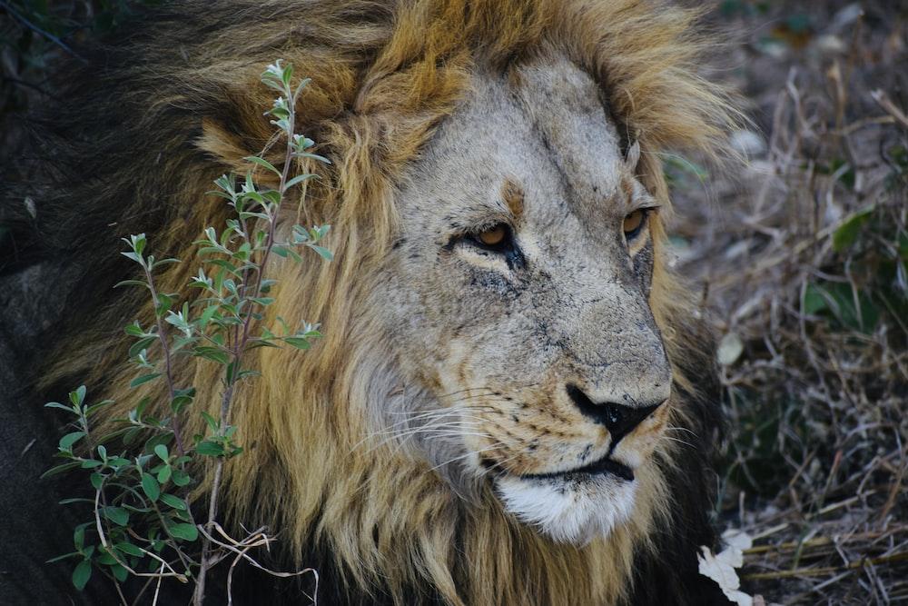 adult lion beside plants