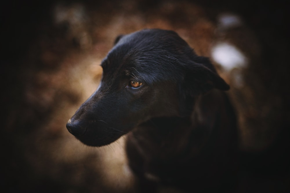 selective focus photography of short-coated black dog